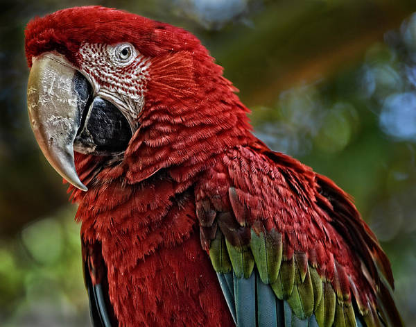 Photograph - Macaw Portrait by Maggy Marsh