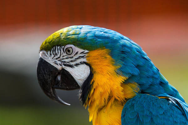 Photograph - Macaw Tropical Bird by Eleanor Abramson