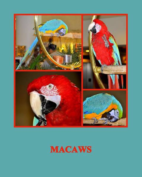 Photograph - Macaws by AJ  Schibig