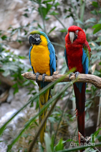 Photograph - Macaws by Elle Arden Walby