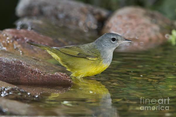 Parulidae Photograph - Macgillivrays Warbler by Anthony Mercieca