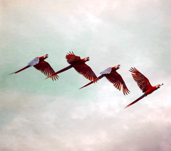Photograph - Mackaws Flying In A Flock by Peggy Collins
