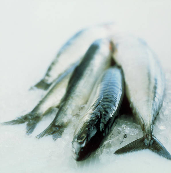 Several Wall Art - Photograph - Mackerel by William Lingwood/science Photo Library
