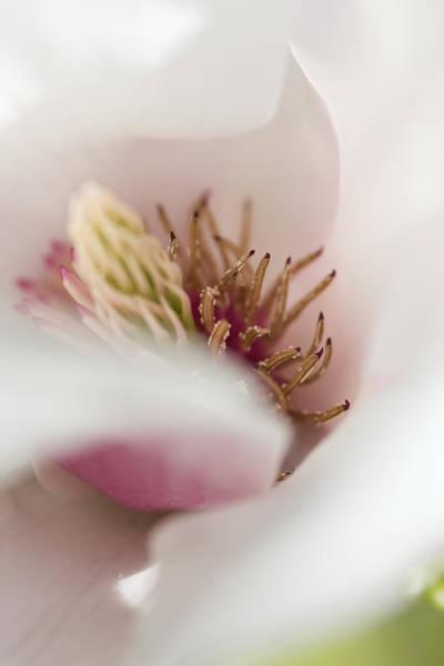 Photograph - Macro Of A Tulip Tree Blossom by Maria Heyens