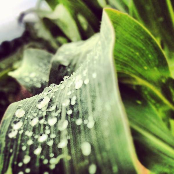 Photograph - Macro Of Corn Stalk After A Summer Rain by Angela Rath