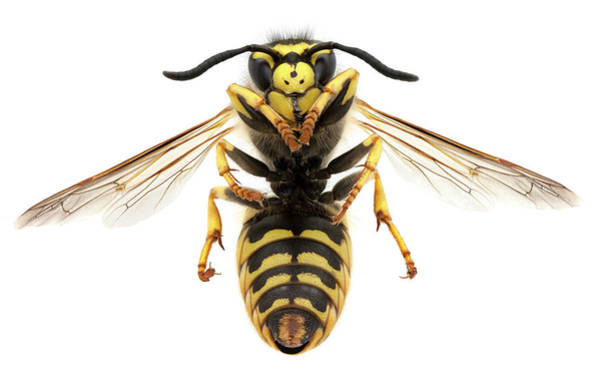 Bee Sting Photograph - Macro Photo Of A Black And Yellow Wasp by Efilippou