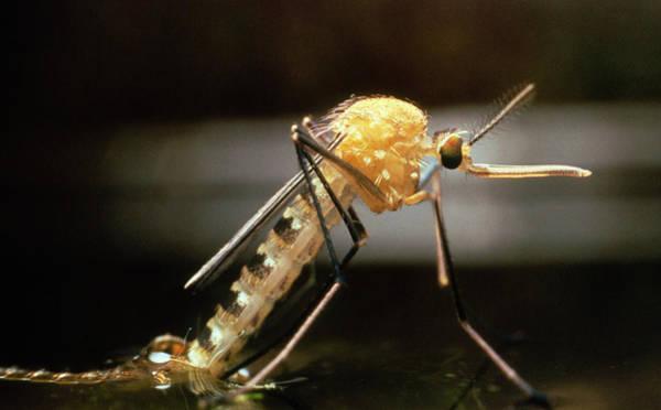 Compound Eyes Photograph - Macro-photo Of A Newly Emerged Female Mosquito by Martin Dohrn/science Photo Library