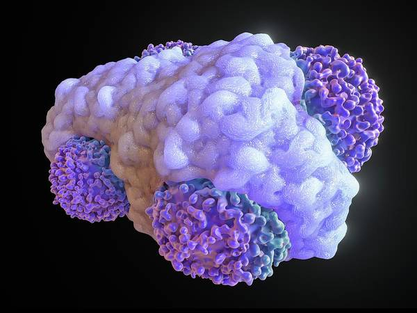 Haematological Wall Art - Photograph - Macrophage Engulfing Cancer Cells by Maurizio De Angelis
