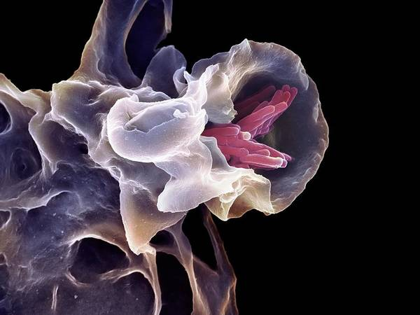 Wall Art - Photograph - Macrophage Engulfing Tb Bacteria by