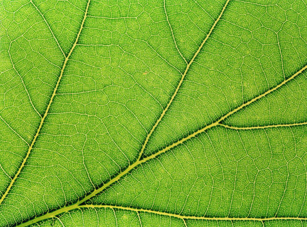 Leaf Venation Wall Art - Photograph - Macrophoto Of Veins In A Lime Tree by Adam Hart-davis/science Photo Library