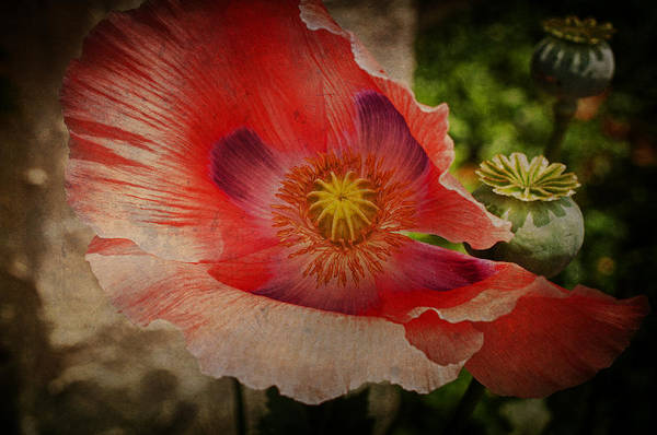 Wall Art - Photograph - Mad For Poppy by Terry Rowe