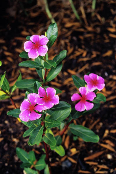 Madagascar Photograph - Madagascar Periwinkle Flowers by Duncan Smith/science Photo Library