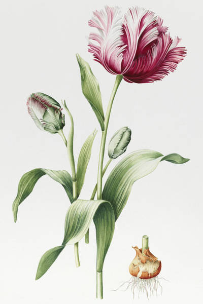 Tulip Bloom Painting - Madame Estelle Rynveld by Sally Crosthwaite