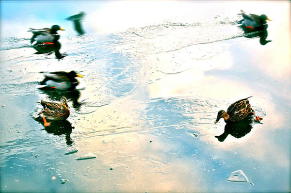 Photograph - Madcap Ducks by HweeYen Ong