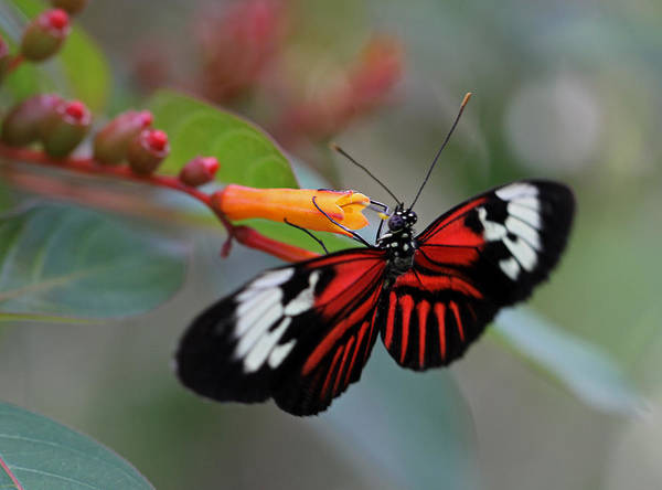 Photograph - Madiera Butterfly by Juergen Roth