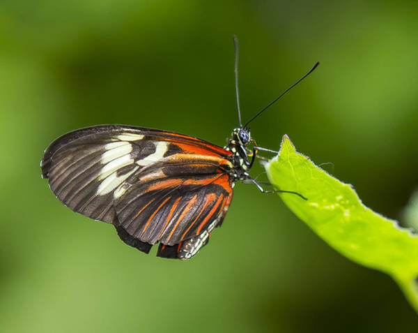 Photograph - Madiera Butterfly by Sean Allen