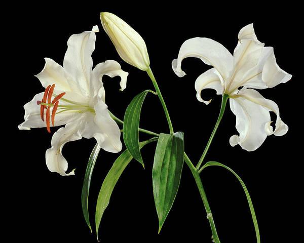 Madonna Lily (lilium Candidum) Art Print by Gilles Mermet