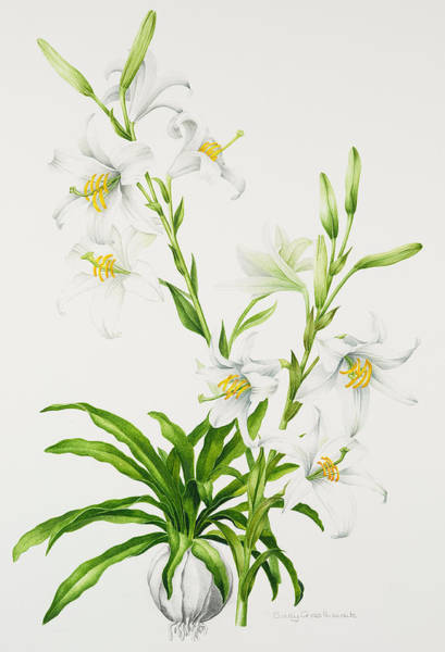 Bulbs Painting - Madonna Lily by Sally Crosthwaite