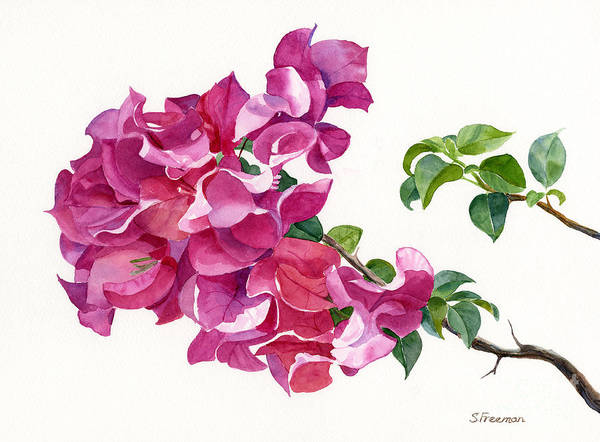 Bougainvillea Painting - Magenta Colored Bougainvillea With Leaves by Sharon Freeman