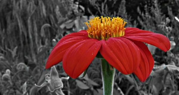 Photograph - Magenta Zinnia Flower  9093 by David Dehner