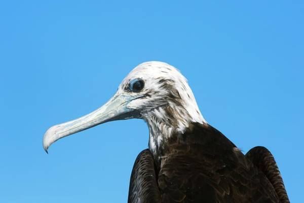 Magnificent Photograph - Magnificent Frigate Bird by Christopher Swann/science Photo Library
