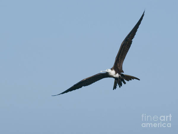 Photograph - Magnificent Frigatebird by Dan Suzio