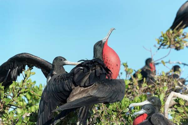 Courtship Photograph - Magnificent Frigatebird Displaying by Christopher Swann
