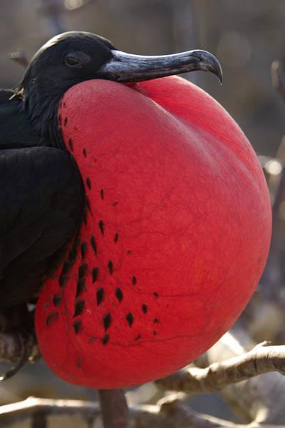 Gular Photograph - Magnificent Frigatebird Displaying by Mark Harmel
