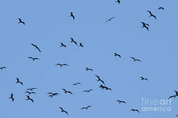 Photograph - Magnificent Frigatebirds by Dan Suzio