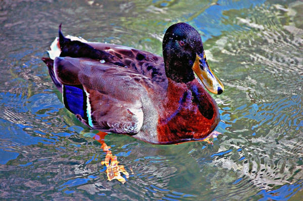 Photograph - Magnificent Mallard by Donna Proctor