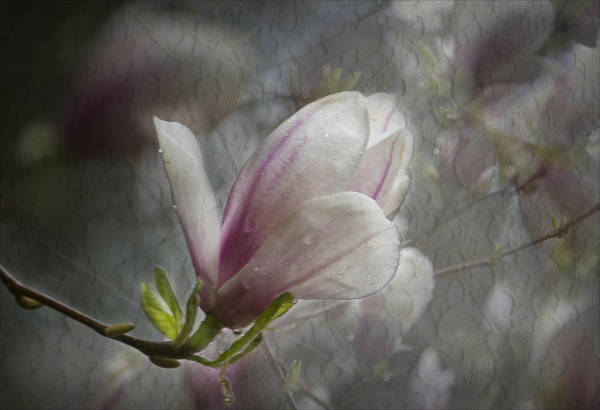 Photograph - Magnolia And Lace by Belinda Greb