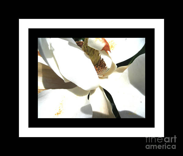 Photograph - Magnolia Beauty. Classic by Oksana Semenchenko