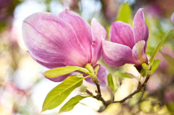 Photograph - Magnolia Flowers by Crystal Hoeveler