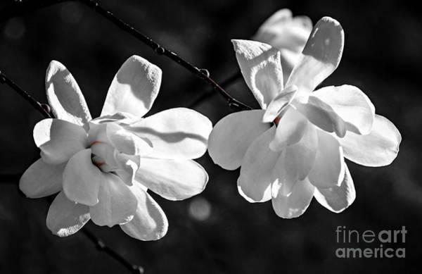 Flowering Trees Photograph - Magnolia Flowers by Elena Elisseeva