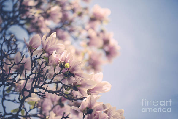 Pink Rose Photograph - Magnolia Flowers by Nailia Schwarz