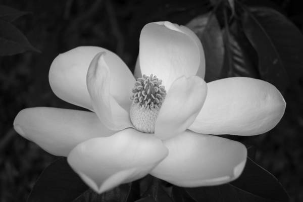 Photograph - Magnolia Grandiflora Blossom - Simply Beautiful Greyscale by MM Anderson