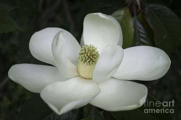 Photograph - Magnolia Grandiflora Blossom - Simply Beautiful by MM Anderson