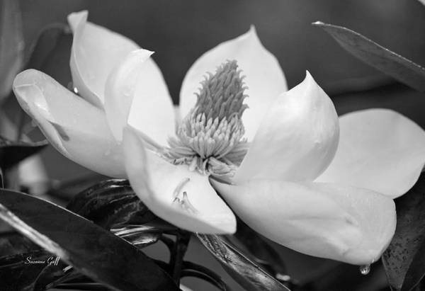 Seasonal Wall Art - Photograph - Magnolia In May - Black And White by Suzanne Gaff
