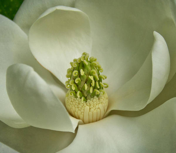 Photograph - Magnolia by Jemmy Archer