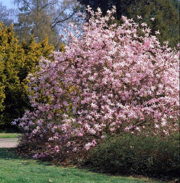 Leonard Photograph - Magnolia Leonard Messel. by Anthony Cooper/science Photo Library