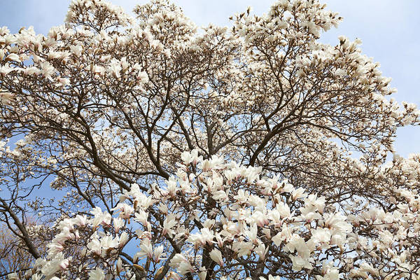 Photograph - Magnolia Magnificence by Susan Cole Kelly