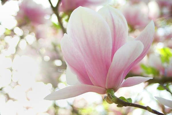 Photograph - Magnolia by Marc Huebner