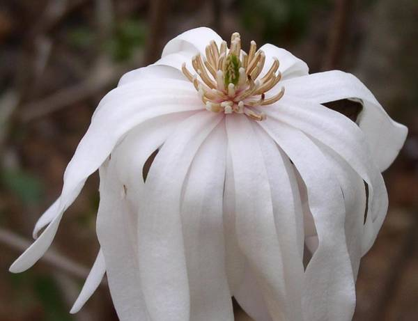Photograph - Magnolia Mature by Cleaster Cotton