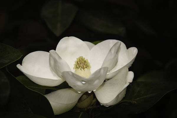 Photograph - Magnolia by Penny Lisowski