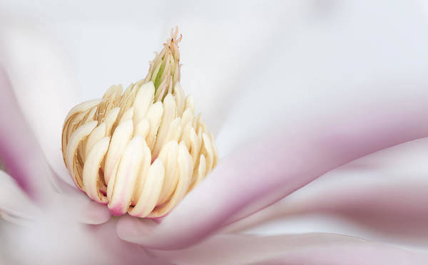 Photograph - Magnolia by Pierre Leclerc Photography