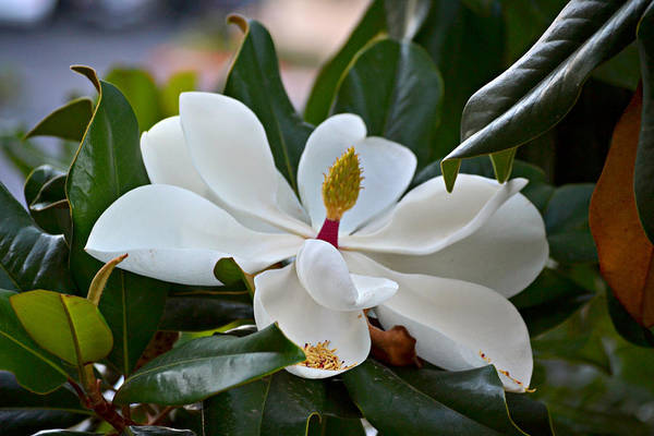 Photograph - Magnolia by Rima Biswas