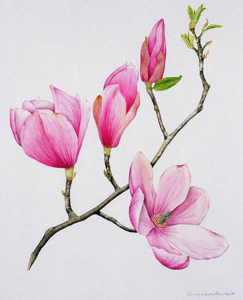 Wall Art - Painting - Magnolia by Sally Crosthwaite