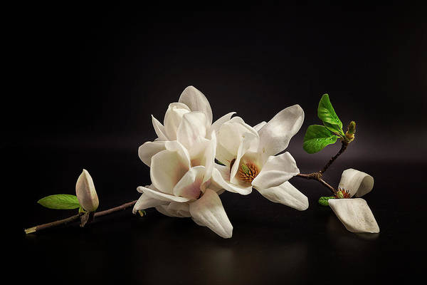 Zen Photograph - Magnolia by Tony08