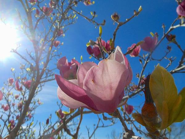 Photograph - Magnolia Tree 1 by John Norman Stewart
