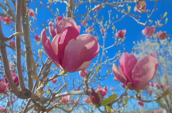 Photograph - Magnolia Tree Blossoms 2 by John Norman Stewart